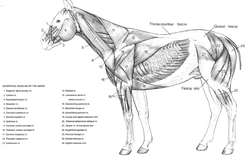 Horse-Muscle-Chart